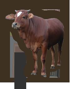 bull_02