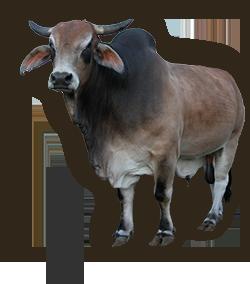 bull_04